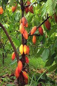 List of the Top 10 Largest Cocoa Producing States in Nigeria (2021)