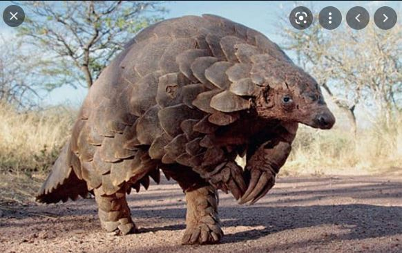 The Armored Pangolin