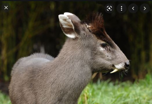The Majestic Tufted Deer