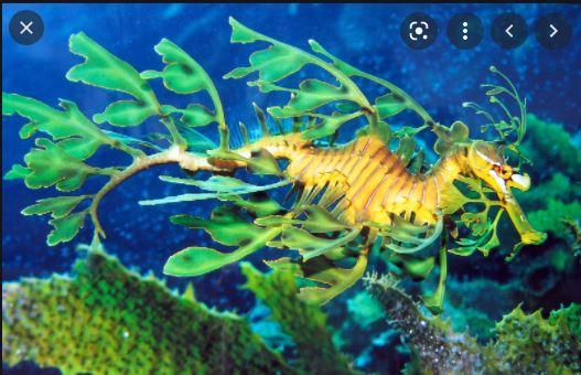The Strange Leafy Sea Dragon